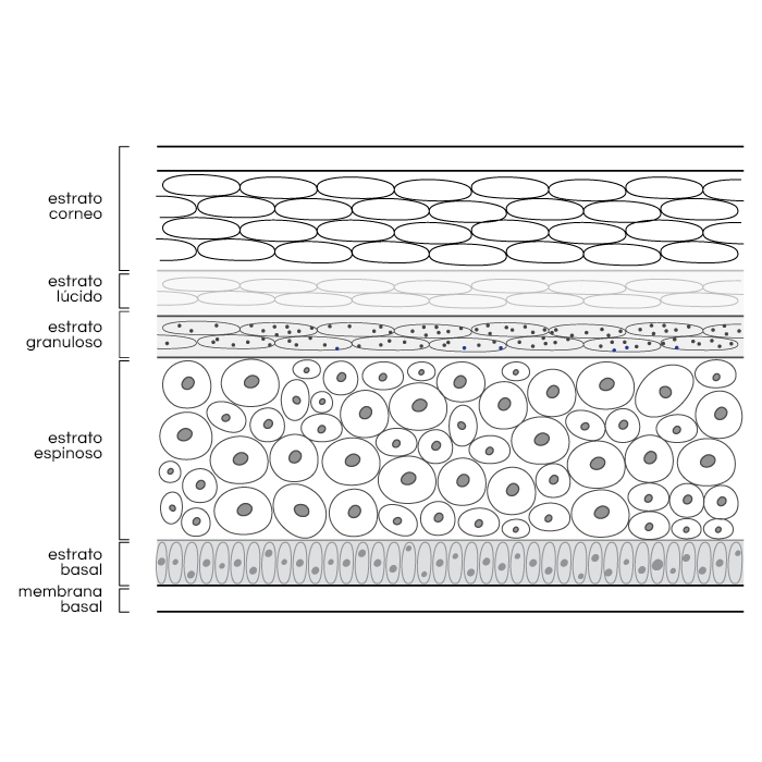 Epidermis Diagram